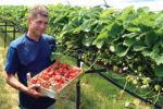Verkoop van aardbeien aan huis.