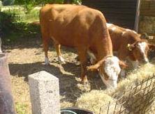 Voordat ons vee vlees wordt krijgt het van ons de ruimte en de tijd om om te leven.