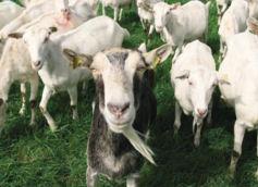 Nieuwsgierig geworden naar het reilen en zeilen van een melkgeitenbedrijf, klop dan gerust eens aan