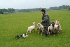 Wij geven  demonstraties schapen drijven buiten Schijndel